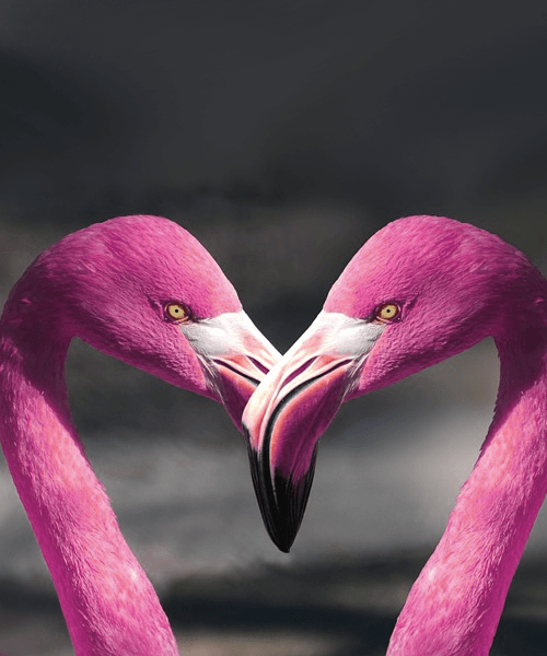 Two pink flamingos forming a heart